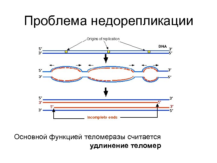 Проблема недорепликации Основной функцией теломеразы считается удлинение теломер
