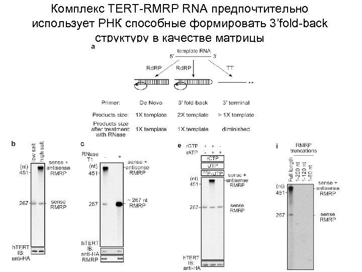 Комплекс ТЕRТ-RMRP RNА предпочтительно использует РНК способные формировать 3'fold-back структуру в качестве матрицы