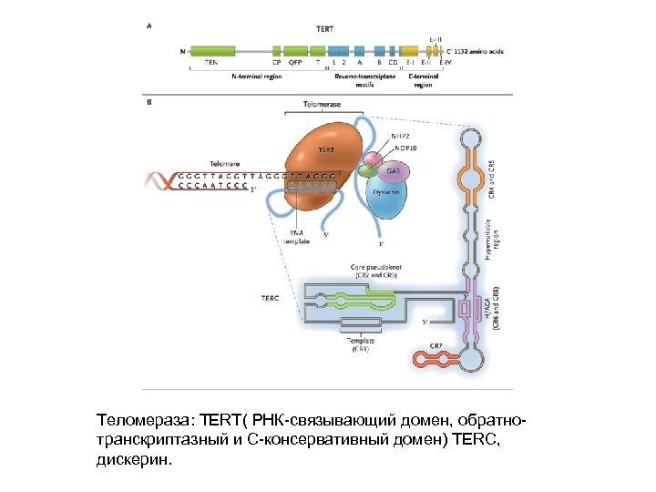 Теломераза: TERT( РНК-связывающий домен, обратнотранскриптазный и С-консервативный домен) TERC, дискерин.