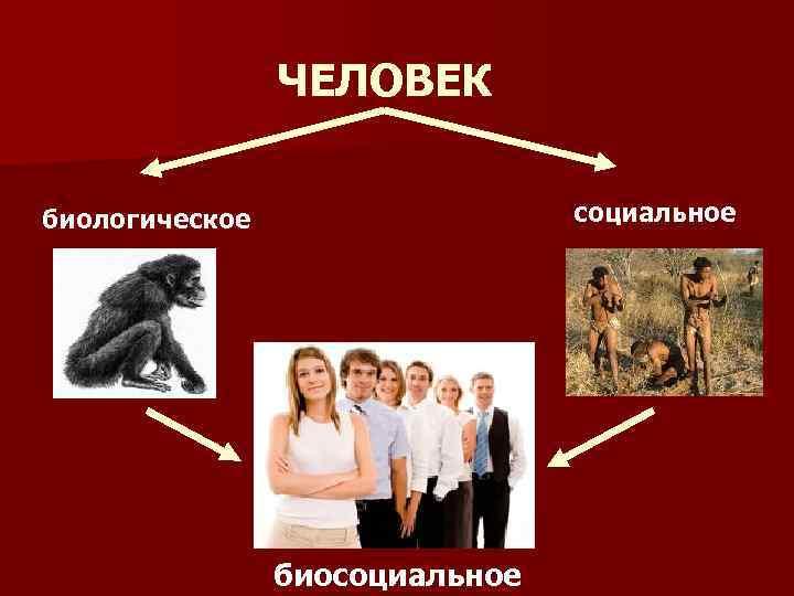 ЧЕЛОВЕК социальное биологическое биосоциальное