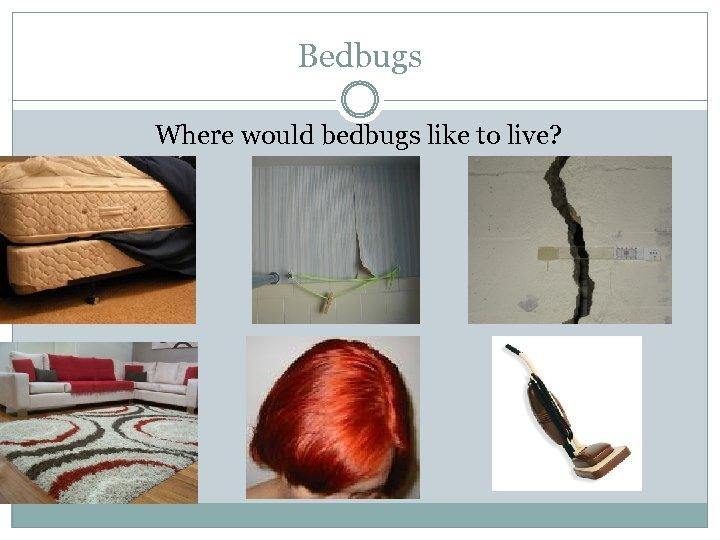 Bedbugs Where would bedbugs like to live?