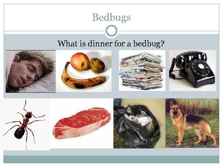 Bedbugs What is dinner for a bedbug?