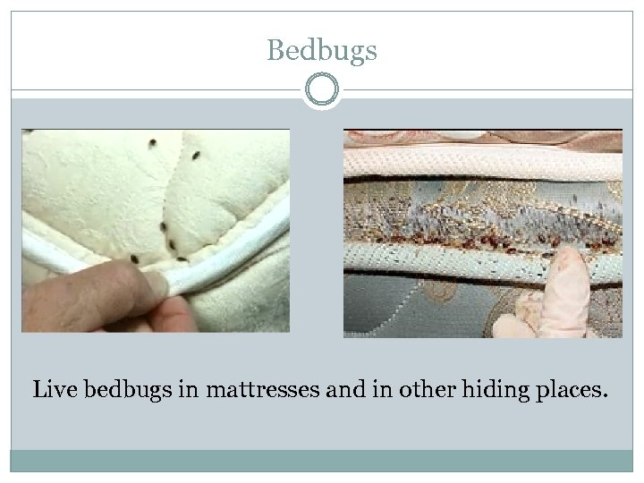 Bedbugs Live bedbugs in mattresses and in other hiding places.