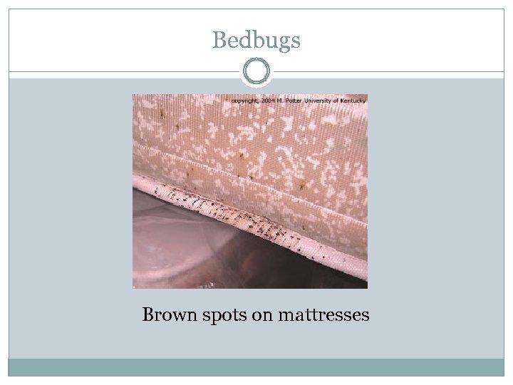Bedbugs Brown spots on mattresses
