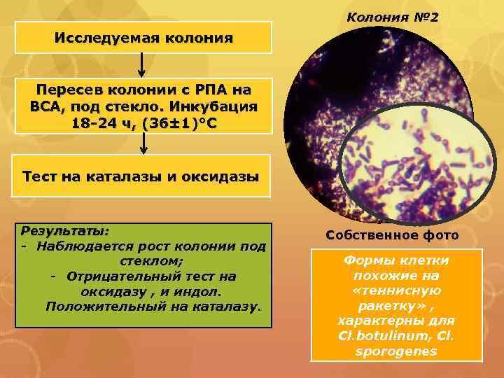 Колония № 2 Исследуемая колония Пересев колонии с РПА на ВСА, под стекло. Инкубация