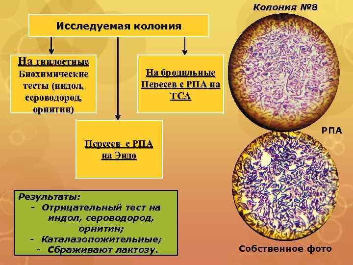 Колония № 8 Исследуемая колония На гнилостные Биохимические тесты (индол, сероводород, орнитин) На бродильные