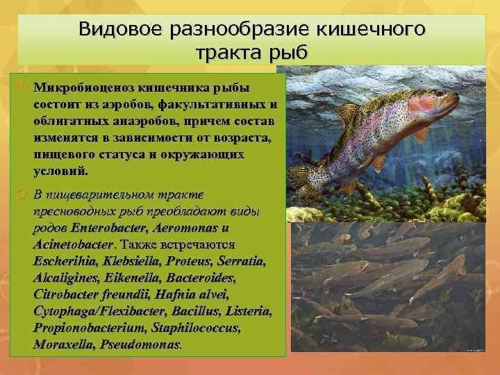 Видовое разнообразие кишечного тракта рыб Микробиоценоз кишечника рыбы состоит из аэробов, факультативных и облигатных