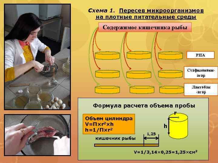 Схема 1. Пересев микроорганизмов на плотные питательные среды Содержимое кишечника рыбы РПА Стафилококкагар Лактобак