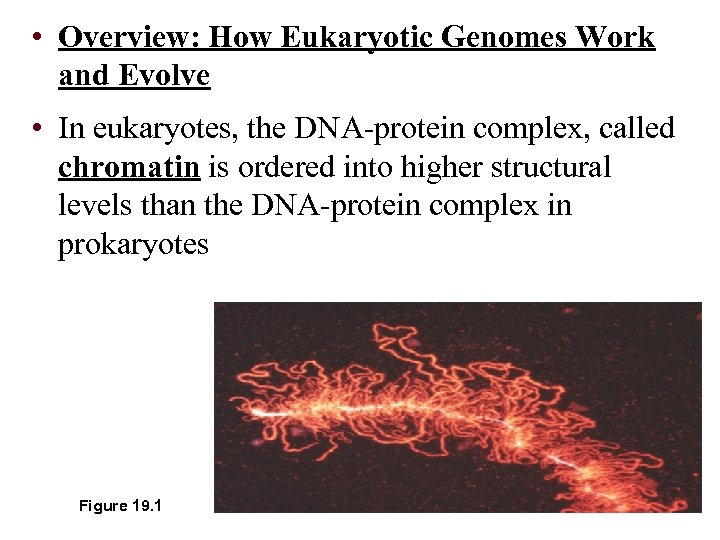 • Overview: How Eukaryotic Genomes Work and Evolve • In eukaryotes, the DNA-protein