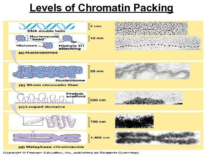 Levels of Chromatin Packing