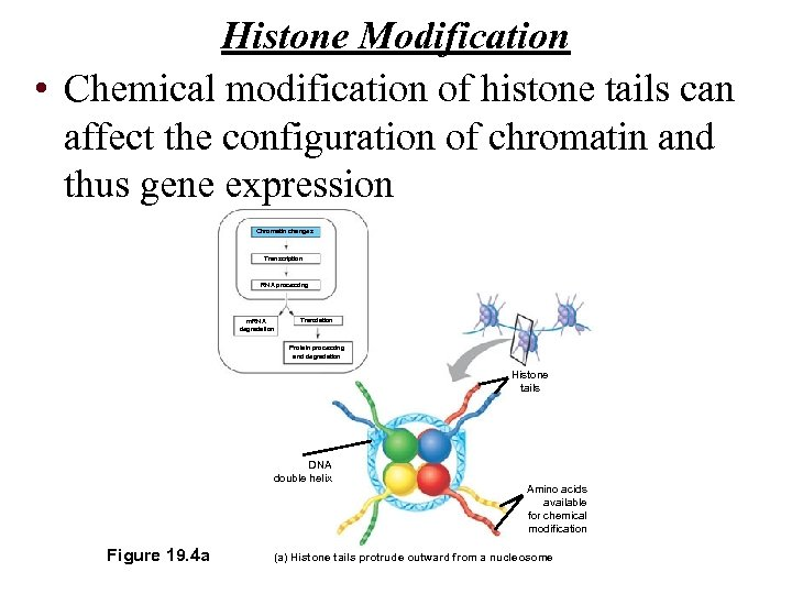 Histone Modification • Chemical modification of histone tails can affect the configuration of chromatin