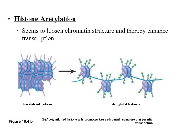 • Histone Acetylation • Seems to loosen chromatin structure and thereby enhance transcription