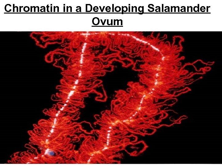 Chromatin in a Developing Salamander Ovum