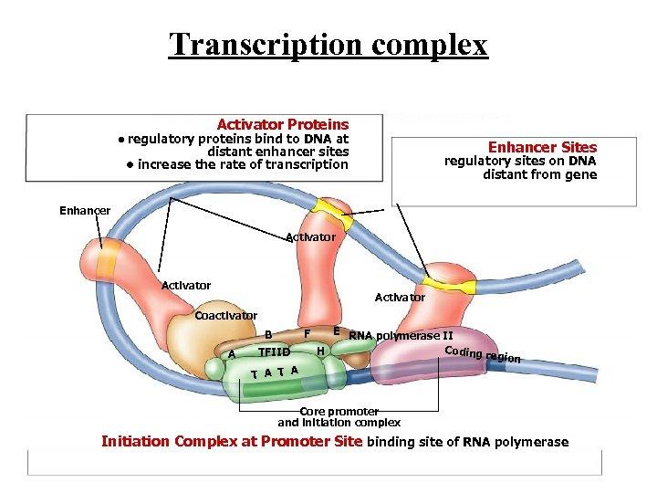 Transcription complex Activator Proteins • regulatory proteins bind to DNA at Enhancer Sites distant