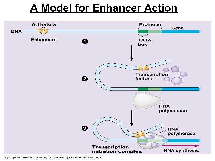 A Model for Enhancer Action