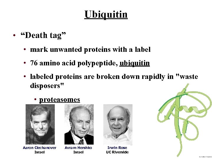 """Ubiquitin • """"Death tag"""" • mark unwanted proteins with a label • 76 amino"""