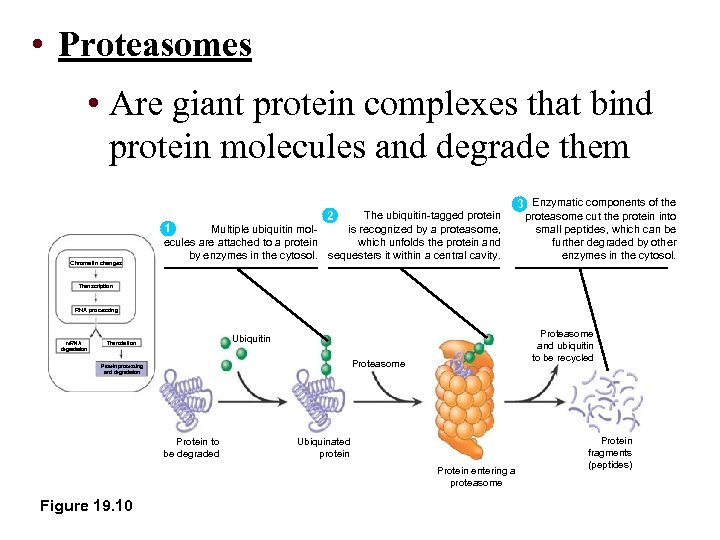 • Proteasomes • Are giant protein complexes that bind protein molecules and degrade