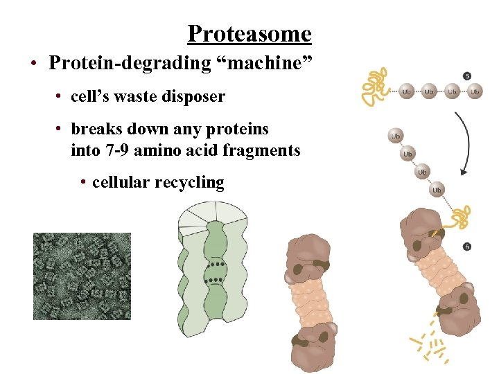 """Proteasome • Protein-degrading """"machine"""" • cell's waste disposer • breaks down any proteins into"""