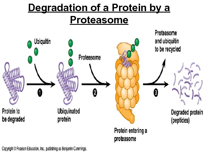 Degradation of a Protein by a Proteasome