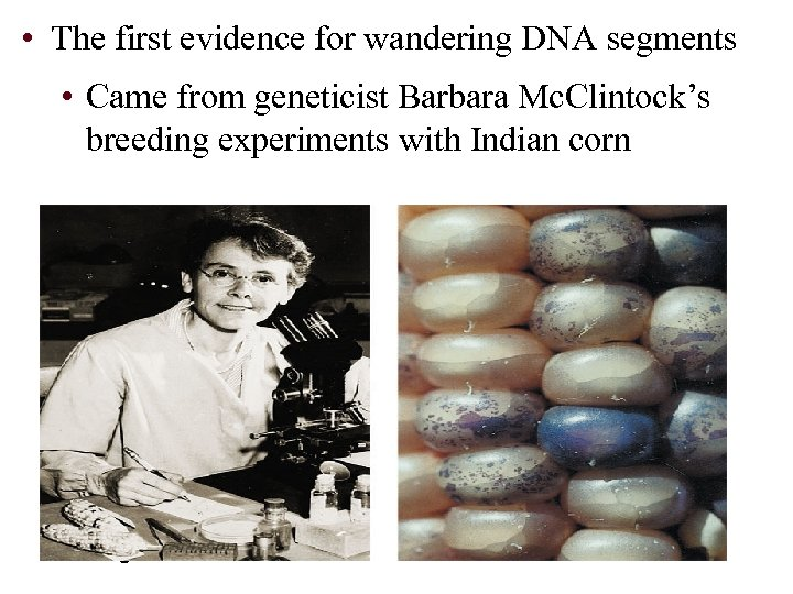 • The first evidence for wandering DNA segments • Came from geneticist Barbara