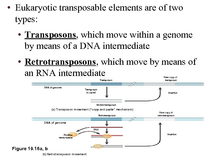 • Eukaryotic transposable elements are of two types: • Transposons, which move within