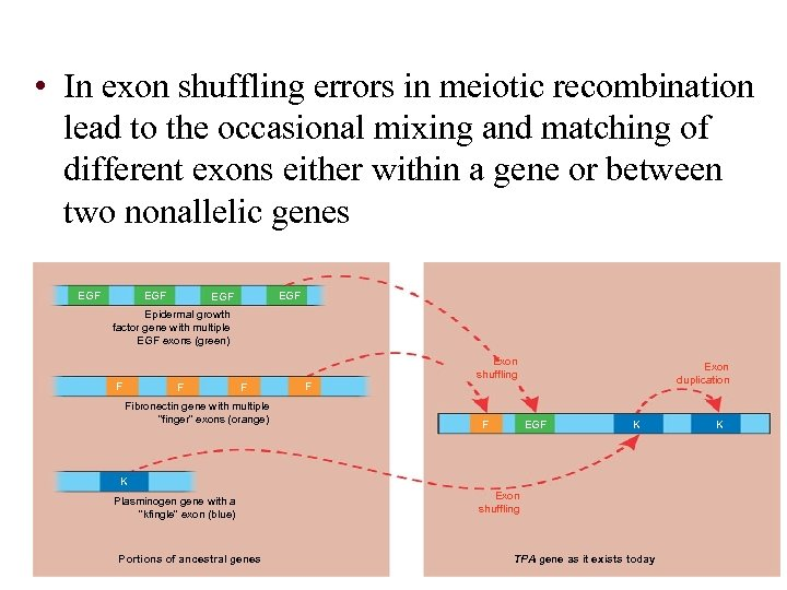 • In exon shuffling errors in meiotic recombination lead to the occasional mixing