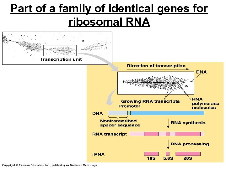 Part of a family of identical genes for ribosomal RNA