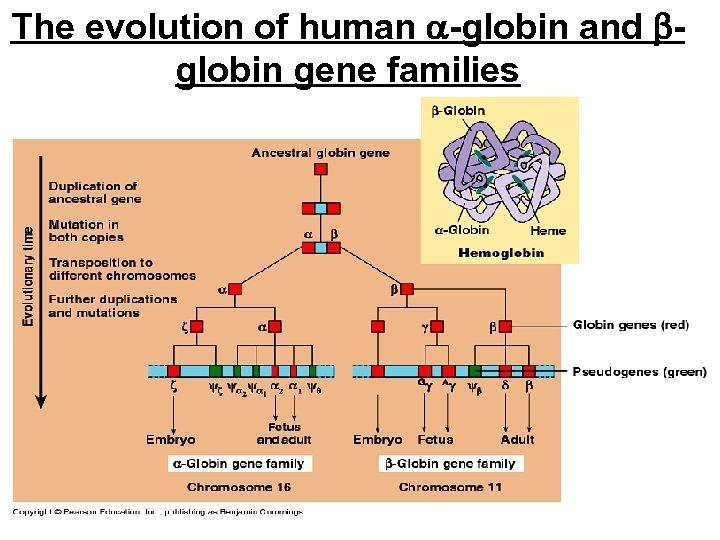 The evolution of human -globin and globin gene families