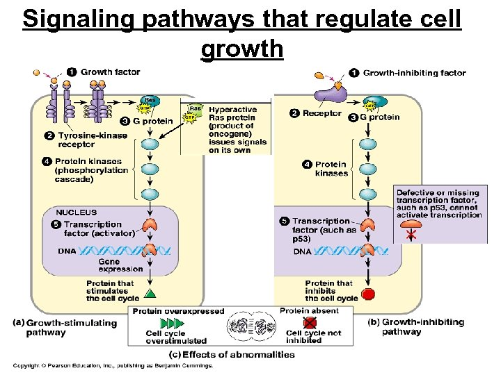 Signaling pathways that regulate cell growth