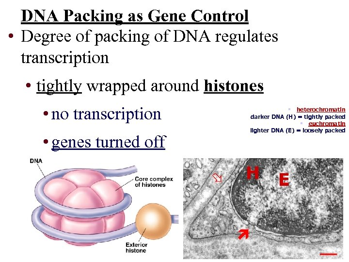DNA Packing as Gene Control • Degree of packing of DNA regulates transcription •