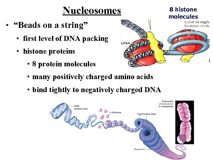 """Nucleosomes • """"Beads on a string"""" • first level of DNA packing • histone"""