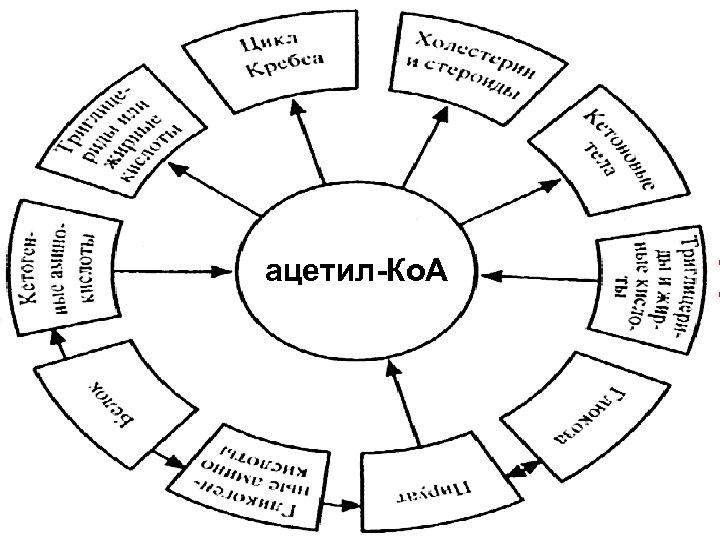 Пируватдегидрогеназный комплекс ацетил-Ко. А