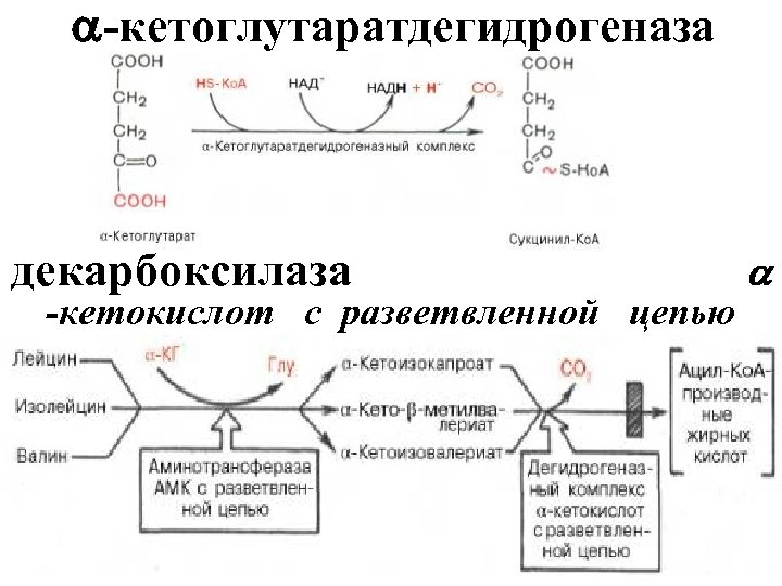 -кетоглутаратдегидрогеназа декарбоксилаза -кетокислот с разветвленной цепью