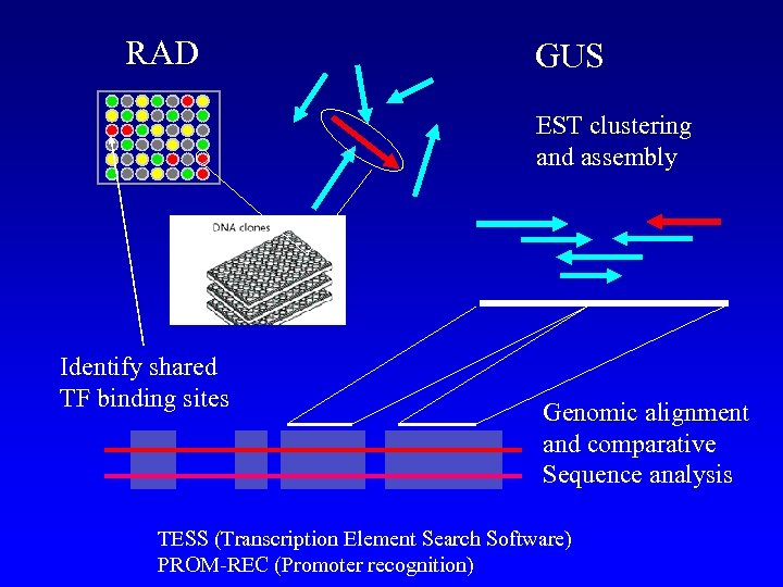 RAD GUS EST clustering and assembly Identify shared TF binding sites Genomic alignment and