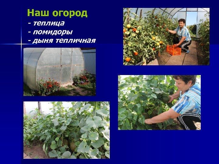 Наш огород - теплица - помидоры - дыня тепличная