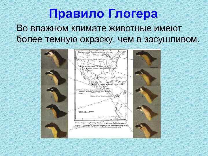 Правило Глогера Во влажном климате животные имеют более темную окраску, чем в засушливом.