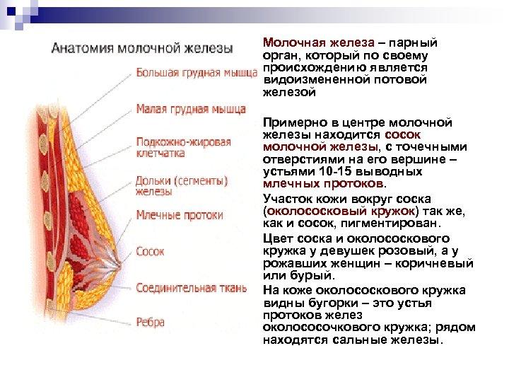 n Молочная железа – парный орган, который по своему происхождению является видоизмененной потовой железой