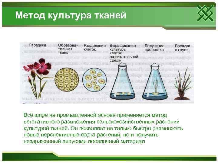 Метод культура тканей Всё шире на промышленной основе применяется метод вегетативного размножения сельскохозяйственных растений