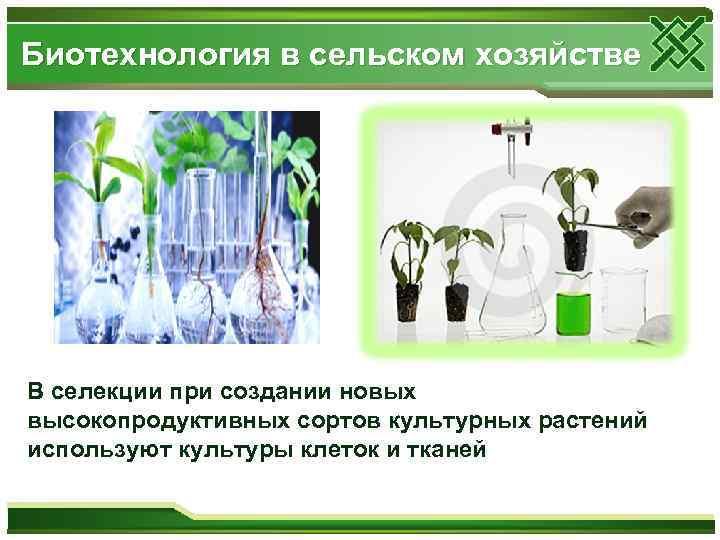 Биотехнология в сельском хозяйстве В селекции при создании новых высокопродуктивных сортов культурных растений используют