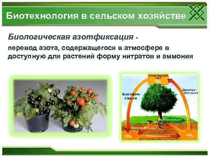 Биотехнология в сельском хозяйстве Биологическая азотфиксация перевод азота, содержащегося в атмосфере в доступную для