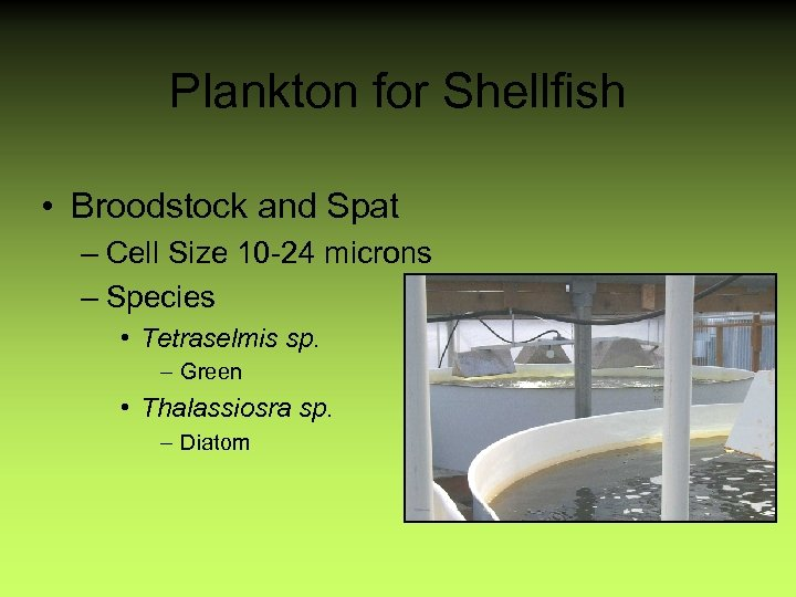 Plankton for Shellfish • Broodstock and Spat – Cell Size 10 -24 microns –