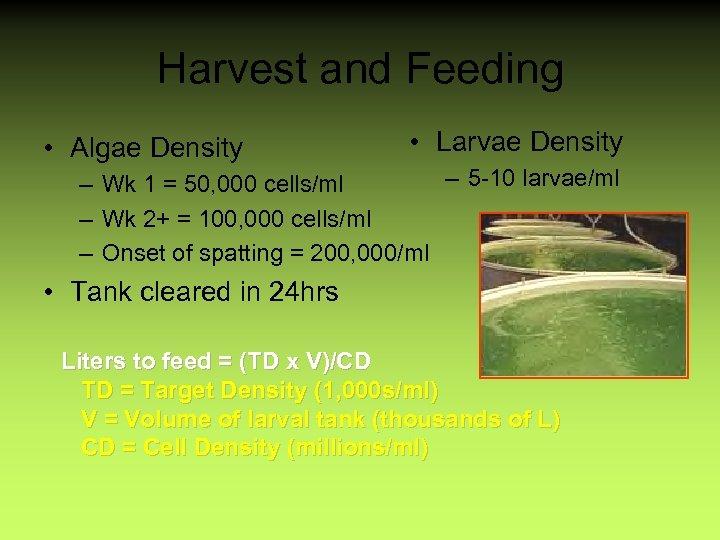 Harvest and Feeding • Algae Density • Larvae Density – 5 -10 larvae/ml –