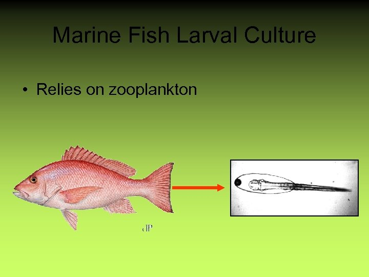 Marine Fish Larval Culture • Relies on zooplankton