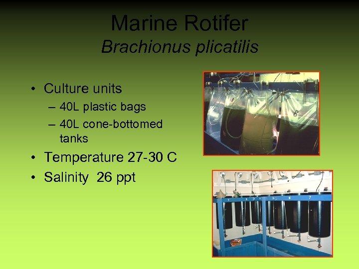 Marine Rotifer Brachionus plicatilis • Culture units – 40 L plastic bags – 40