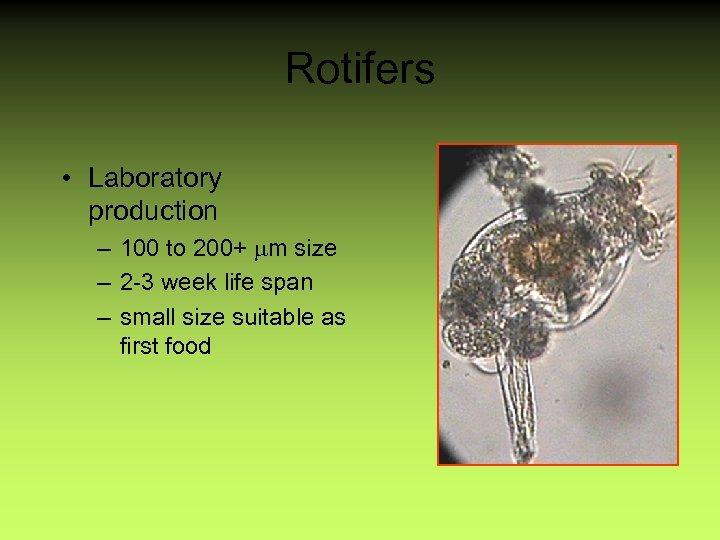 Rotifers • Laboratory production – 100 to 200+ mm size – 2 -3 week