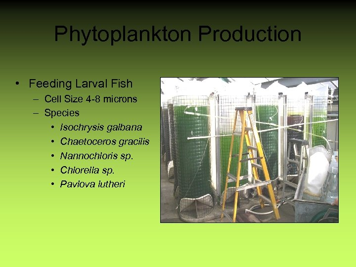 Phytoplankton Production • Feeding Larval Fish – Cell Size 4 -8 microns – Species