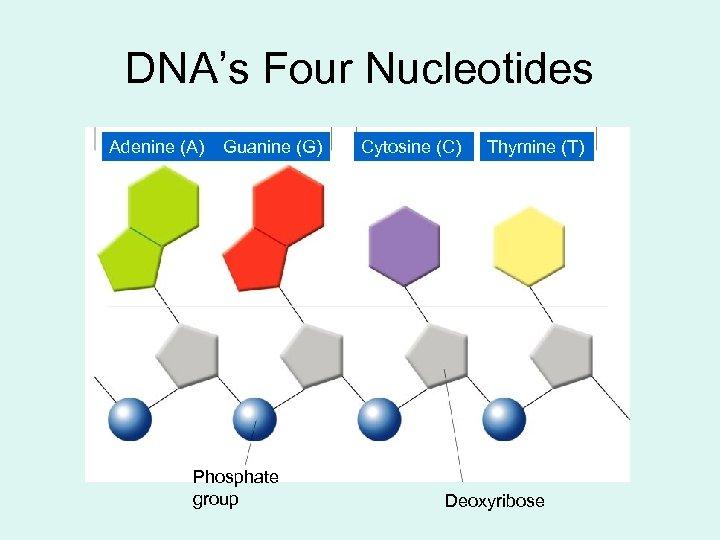 DNA's Four Nucleotides Adenine (A) Guanine (G) Phosphate group Cytosine (C) Thymine (T) Deoxyribose