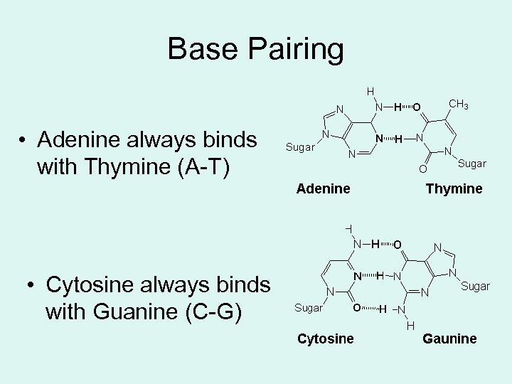 Base Pairing • Adenine always binds with Thymine (A-T) • Cytosine always binds with