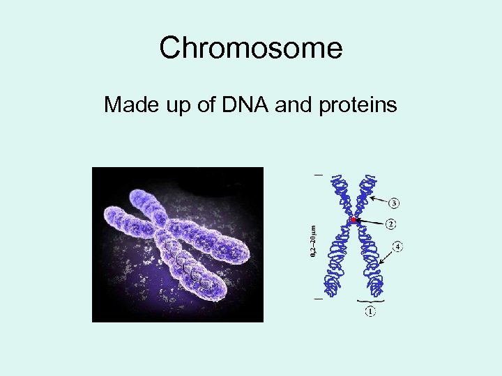 Chromosome Made up of DNA and proteins