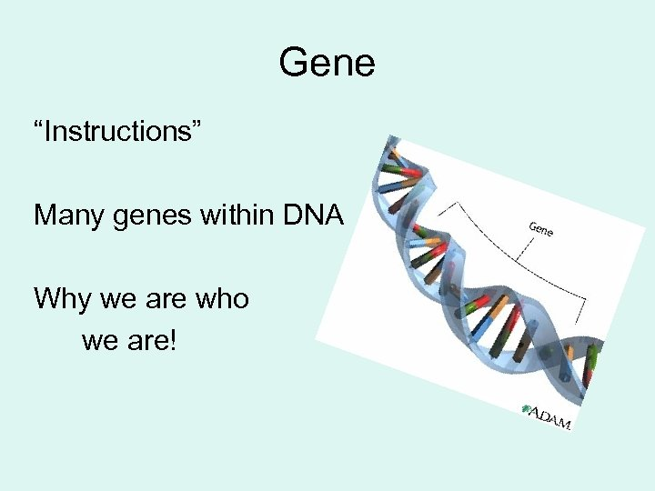 "Gene ""Instructions"" Many genes within DNA Why we are who we are!"